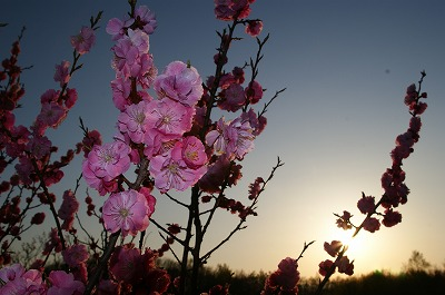 夜桜ならぬ、夜梅!平岡梅林公園堪能!_c0134029_20311293.jpg