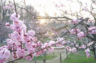 夜桜ならぬ、夜梅!平岡梅林公園堪能!_c0134029_2033065.jpg