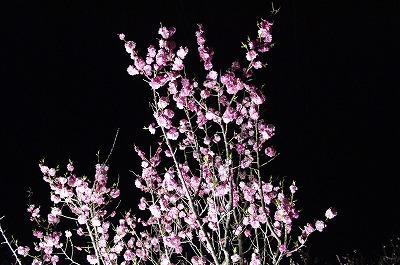 夜桜ならぬ、夜梅!平岡梅林公園堪能!_c0134029_20335597.jpg