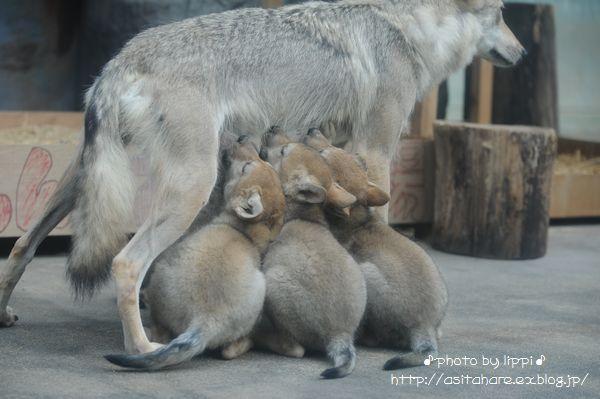 オオカミっ子が近いです。_b0024758_23115020.jpg