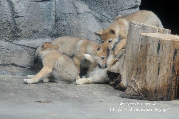 オオカミっ子が近いです。_b0024758_23124329.jpg