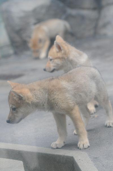 オオカミっ子が近いです。_b0024758_2314964.jpg