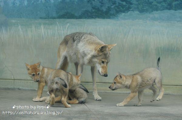 オオカミっ子が近いです。_b0024758_23151116.jpg