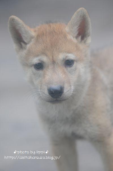 オオカミっ子が近いです。_b0024758_2333016.jpg
