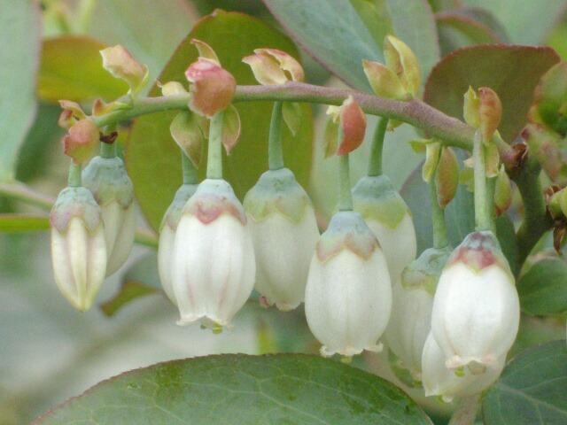 我が家の実生の特徴、花と葉@ブルーベリー栽培_f0018078_16401442.jpg