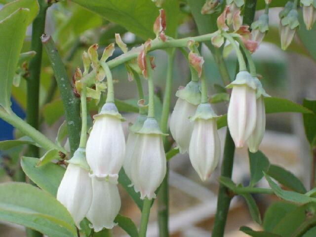 我が家の実生の特徴、花と葉@ブルーベリー栽培_f0018078_16485460.jpg