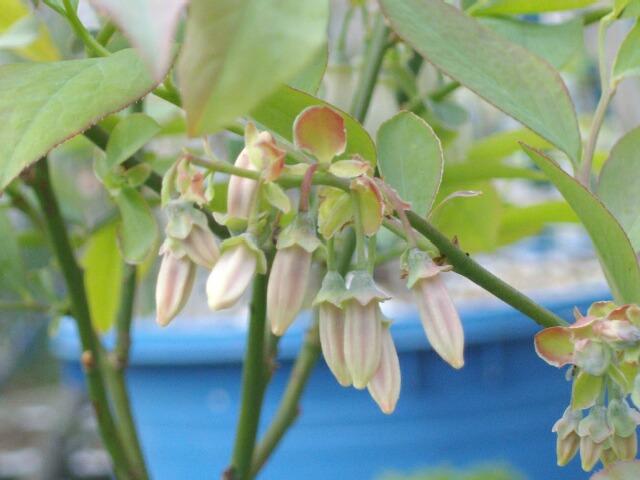 我が家の実生の特徴、花と葉@ブルーベリー栽培_f0018078_165012.jpg