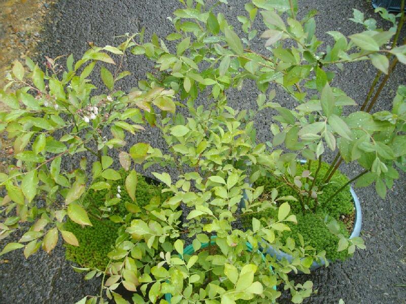 我が家の実生の特徴、花と葉@ブルーベリー栽培_f0018078_16572967.jpg