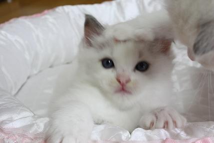 ラグドールの仔猫  写真撮影の巻_d0126813_2057206.jpg