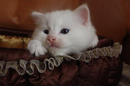 ラグドールの仔猫  写真撮影の巻_d0126813_2110764.jpg