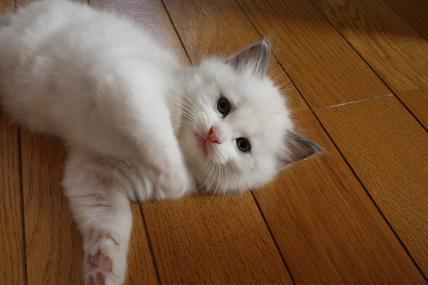 ラグドールの仔猫  写真撮影の巻_d0126813_21133233.jpg