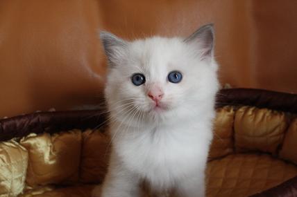 ラグドールの仔猫  写真撮影の巻_d0126813_21172989.jpg