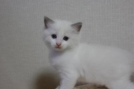 ラグドールの仔猫  写真撮影の巻_d0126813_2120195.jpg