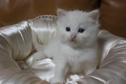 ラグドールの仔猫  写真撮影の巻_d0126813_21212261.jpg