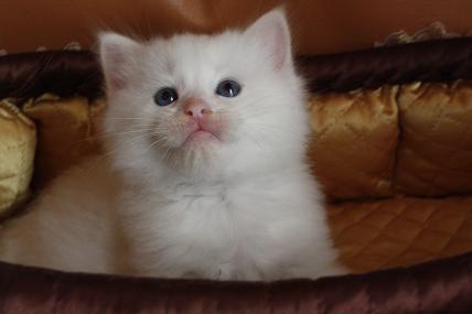 ラグドールの仔猫  写真撮影の巻_d0126813_2144668.jpg