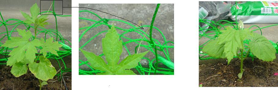 緑のカーテン、ゴーヤは2種類で_e0097895_21134796.jpg