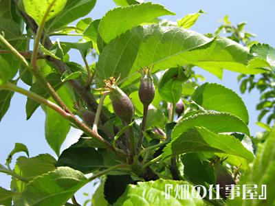 美味しい林檎のオーナーになる。。。。_e0065906_17524076.jpg