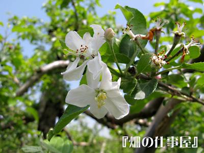 美味しい林檎のオーナーになる。。。。_e0065906_17544496.jpg