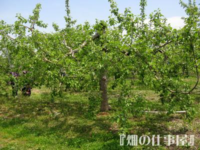美味しい林檎のオーナーになる。。。。_e0065906_17552141.jpg