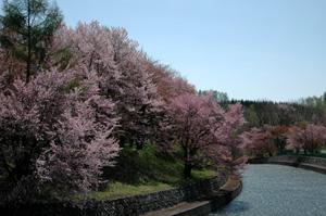 桜満開♪_f0096216_15471710.jpg
