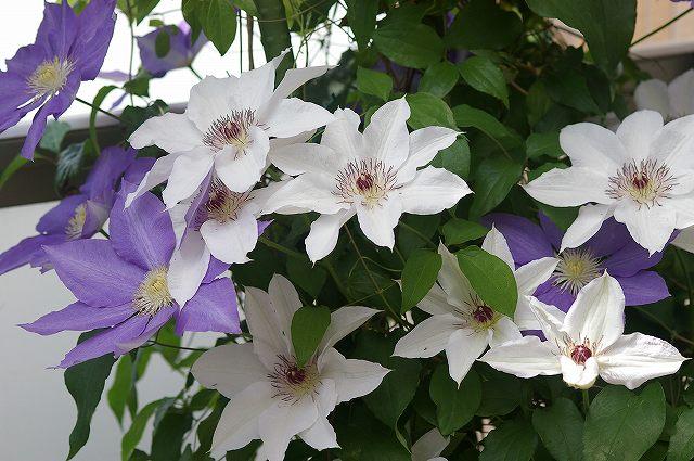 庭の花 クレマチス_d0043136_20285982.jpg