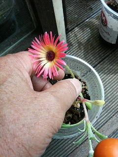 花咲きました_a0075684_2321392.jpg