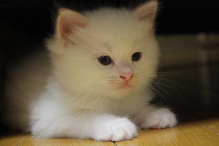 ラグドールの仔猫  個性いろいろ_d0126813_22175713.jpg