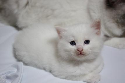 ラグドールの仔猫  個性いろいろ_d0126813_2220571.jpg