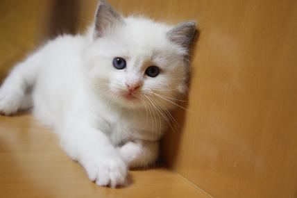 ラグドールの仔猫  個性いろいろ_d0126813_2252354.jpg