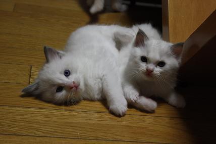 ラグドールの仔猫  個性いろいろ_d0126813_2283680.jpg