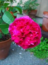 薔薇 真っ盛り_f0207652_10233771.jpg