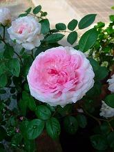薔薇 真っ盛り_f0207652_10243716.jpg