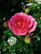 薔薇 真っ盛り_f0207652_10262115.jpg