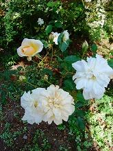 薔薇 真っ盛り_f0207652_1027409.jpg