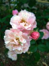薔薇 真っ盛り_f0207652_1027523.jpg