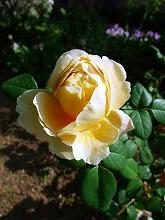 薔薇 真っ盛り_f0207652_1028228.jpg