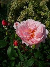 薔薇 真っ盛り_f0207652_1029413.jpg