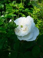 薔薇 真っ盛り_f0207652_10295029.jpg
