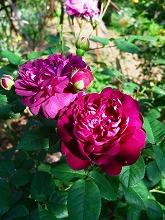 薔薇 真っ盛り_f0207652_10302767.jpg