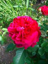 薔薇 真っ盛り_f0207652_10311738.jpg