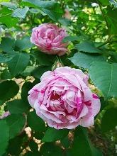 薔薇 真っ盛り_f0207652_10325258.jpg