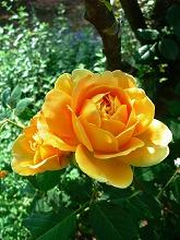 薔薇 真っ盛り_f0207652_1032988.jpg