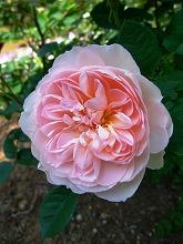 薔薇 真っ盛り_f0207652_10333381.jpg