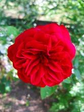 薔薇 真っ盛り_f0207652_10344862.jpg