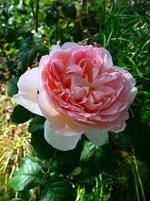 薔薇 真っ盛り_f0207652_1036114.jpg
