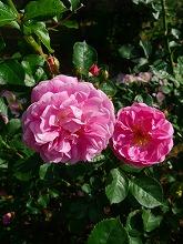 薔薇 真っ盛り_f0207652_10363313.jpg