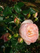 薔薇 真っ盛り_f0207652_10373895.jpg