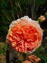 薔薇 真っ盛り_f0207652_1037633.jpg