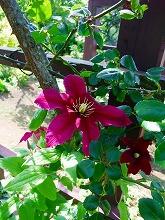 薔薇 真っ盛り_f0207652_10382829.jpg