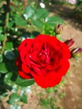 薔薇 真っ盛り_f0207652_10392811.jpg